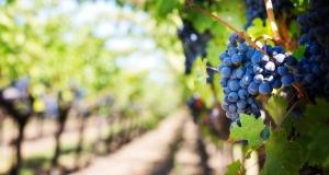 Poljoprivreda: Komisija objavila novi program odobravanja nasada vinove loze